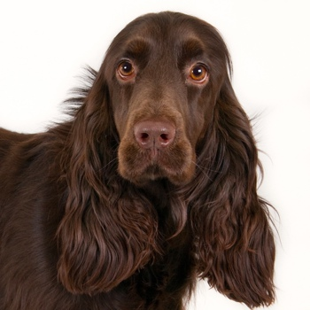Photo of adult Field Spaniel