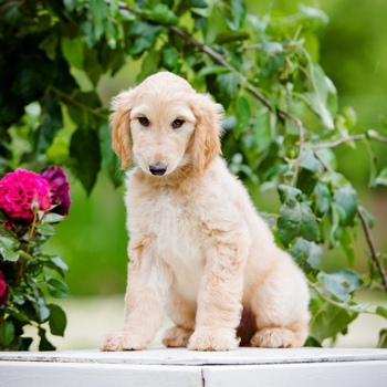 Photo of Afghan Hound puppy