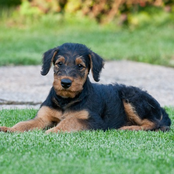 Photo of Airedale Terrier puppy