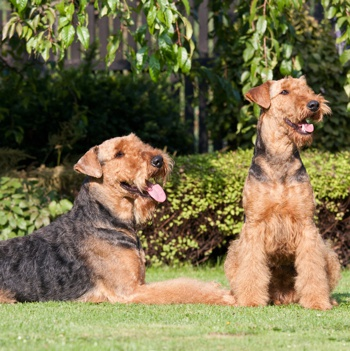 Photo of adult Airedale Terrier