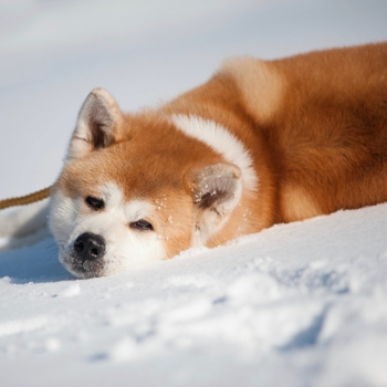 Akita Inu Breed Information Characteristics Heath Problems