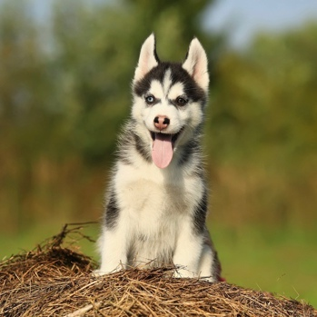Photo of Alaskan Husky puppy