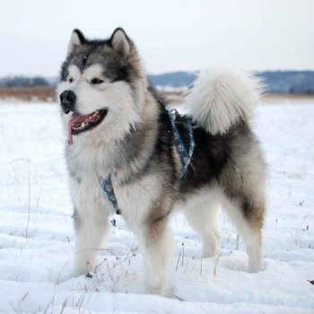 Photo of adult Alaskan Malamute