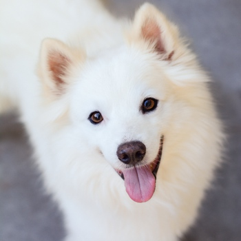 Photo of adult American Eskimo Dog
