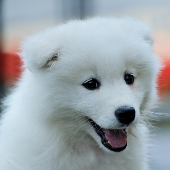 Photo of American Eskimo Dog puppy