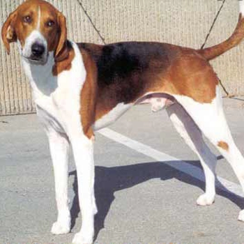 Photo of adult American Foxhound