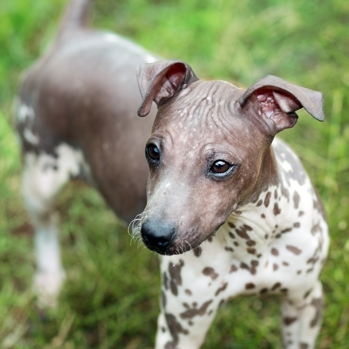 Photo of American Hairless Terrier puppy