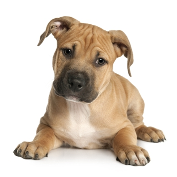 Photo of American Staffordshire Terrier puppy