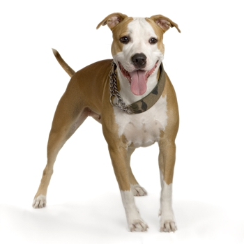 Photo of adult American Staffordshire Terrier