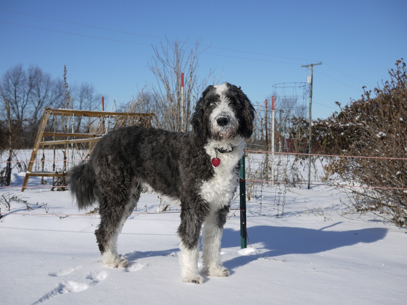 Aussiedoodle Large Photo