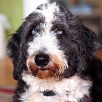 Photo of adult Aussiedoodle