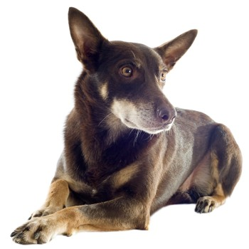 Photo of adult Australian Kelpie
