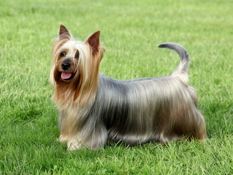 Australian Silky Terrier Large Photo