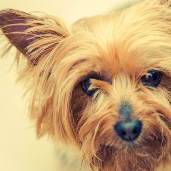 Photo of Australian Silky Terrier puppy