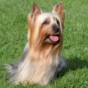 Photo of adult Australian Silky Terrier