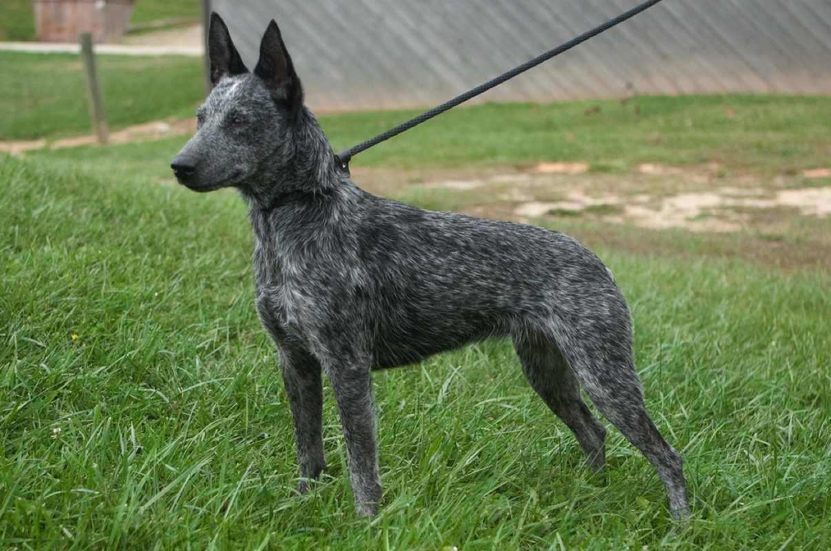 Australian Stumpy Tail Cattle Dog Large Photo