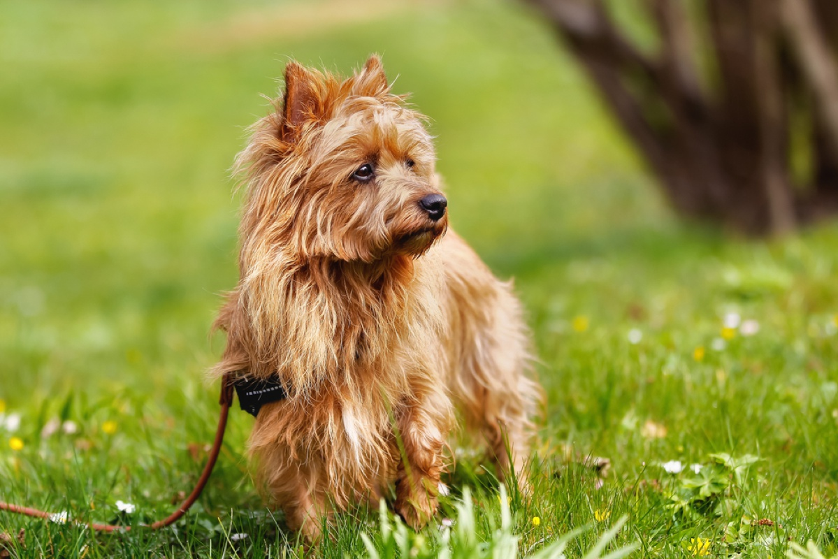 Australian Terrier Large Photo