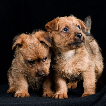 Photo of Australian Terrier puppy