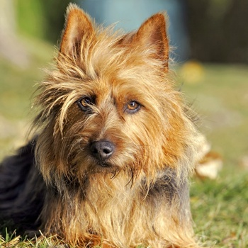 Photo of adult Australian Terrier