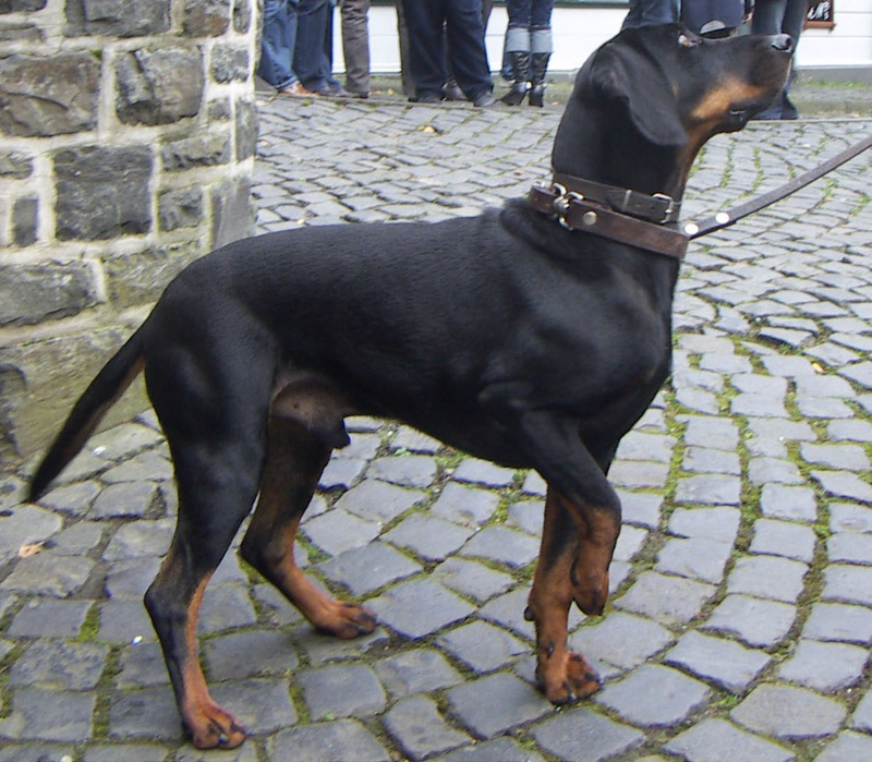 Austrian Black & Tan Hound Large Photo