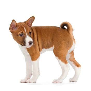 Photo of Basenji puppy
