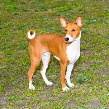Photo of adult Basenji