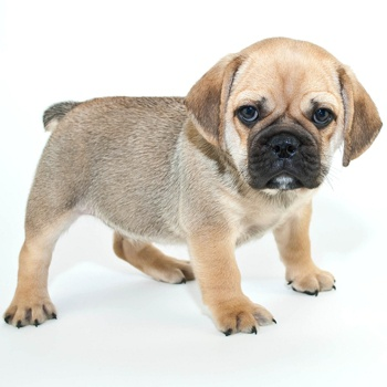 Photo of Beabull puppy
