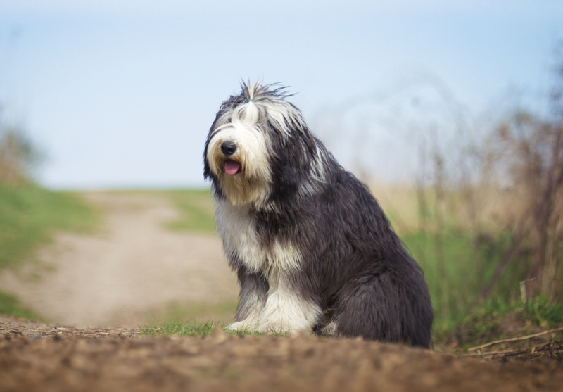 Bearded Collie Large Photo