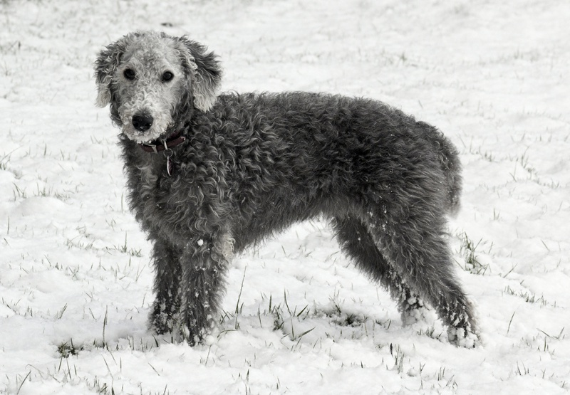 Bedlington Terrier Large Photo