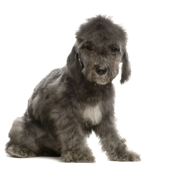 Photo of Bedlington Terrier puppy