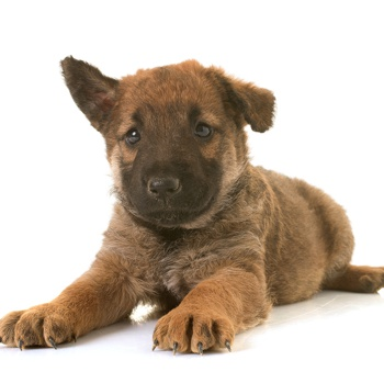 Photo of Belgian Shepherd puppy