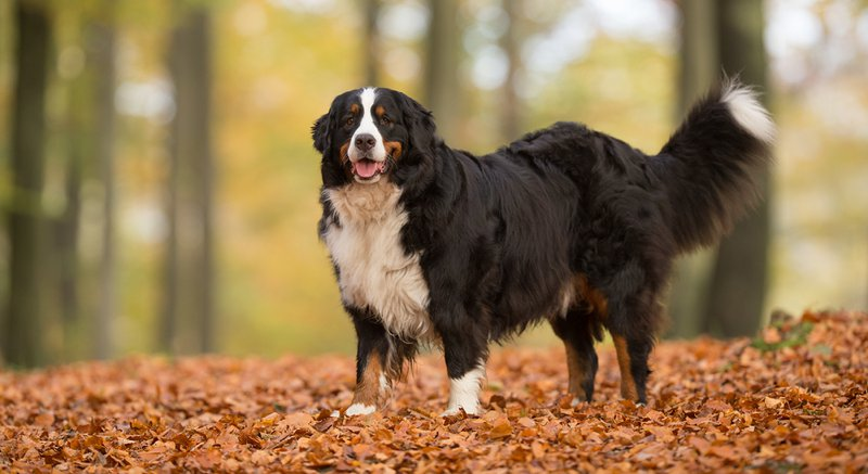 Bernese Mountain Dog Large Photo