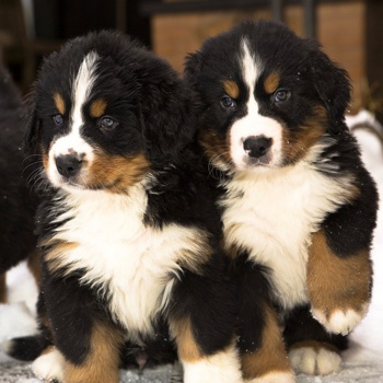 Photo of Bernese Mountain Dog puppy