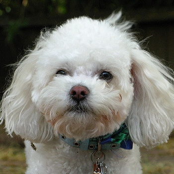 Photo of adult Bichpoo