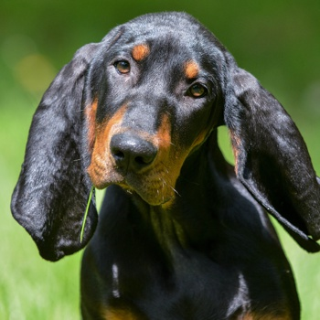 Black and Tan Coonhound