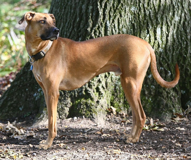 Black Mouth Cur Large Photo