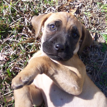 Photo of Black Mouth Cur puppy