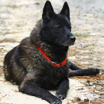black norwegian elkhound breed information characteristics heath