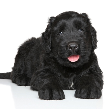 Photo of Russian Black Terrier puppy