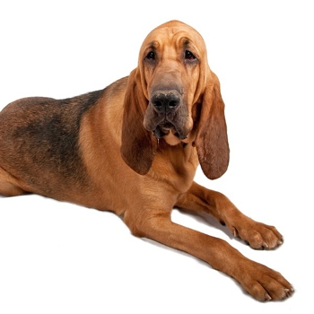 Photo of adult Bloodhound