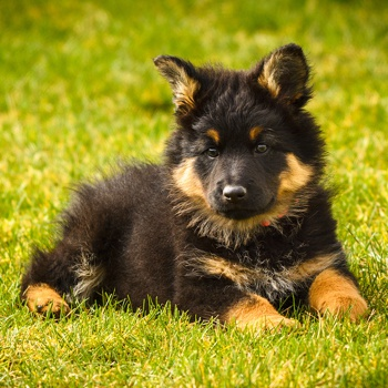 Photo of Bohemian Shepherd puppy