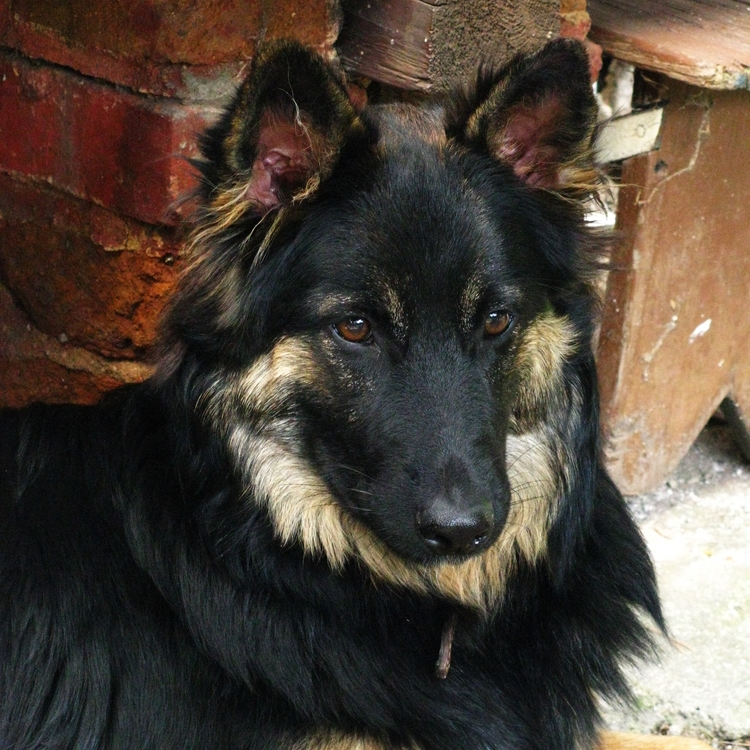 Photo of adult Bohemian Shepherd
