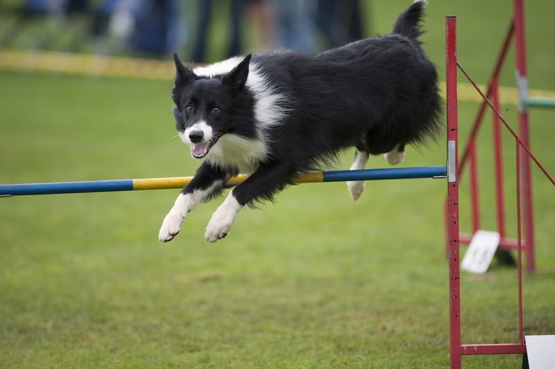 Border Collie Large Photo