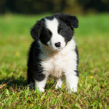 Photo of Border Collie puppy
