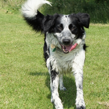 Photo of adult Border Collie Spaniel
