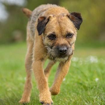 Photo of adult Border Terrier
