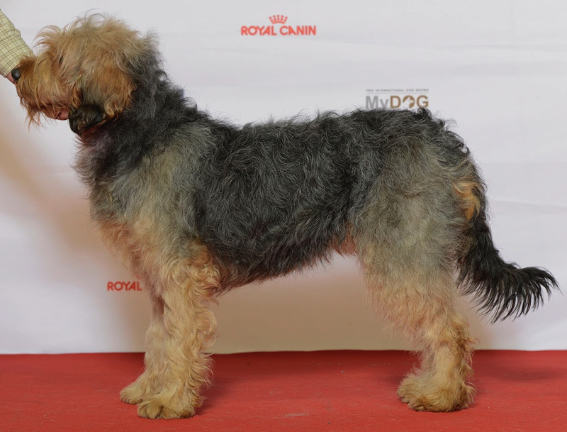 Bosnian Coarse-Haired Hound Large Photo