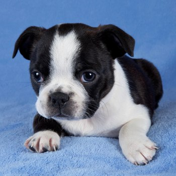 Photo of Boston Terrier puppy