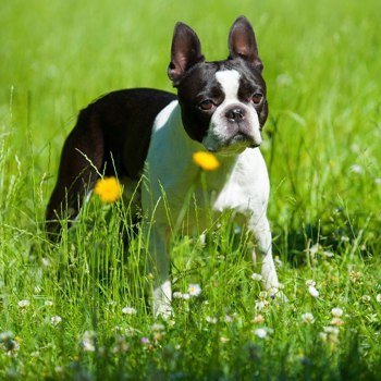 Boston Terrier Breed Information Characteristics Heath Problems