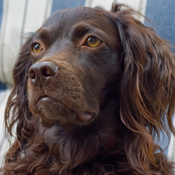 Photo of adult Boykin Spaniel